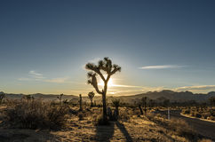 Sun Setting Behind Silhouette of Joshua Tree Royalty Free Stock Photo
