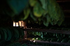 Vinales Valley, Cuba sun setting on drying tobacco. Sun setting on drying tobacco at a farm in Vinales Valley Cuba royalty free stock photography