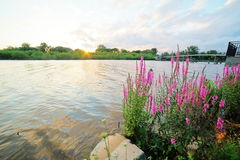 Sun Setting Over Purple Loosestrife Royalty Free Stock Images