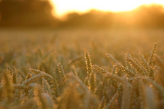 Sun setting over wheat field Royalty Free Stock Photography