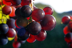 Sun setting on red closeup grapes Stock Photography