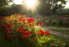 Sun Setting. A rose garden engulfed in the light of the setting sun Stock Image