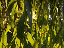 Sun and shadows. Sun shinning through a willow tree leaves Royalty Free Stock Photo