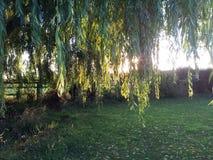Sun and shadows. Sun shinning through a willow tree leaves Stock Photos