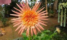 Sun shaped Flower Stock Photo