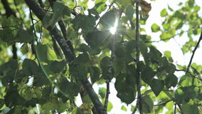 Sun shine through the blowing on wind tree green leaves. Nature background. Beautiful Sun shine through the blowing on wind tree green leaves. Blurred abstract stock footage