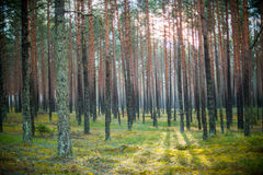 Sun shine in forest. Forest, tree trunks. Sun shine in forest Stock Photo