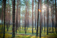 Sun shine in forest. Forest, tree trunks. Sun shine in forest Stock Image