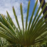 Sun shine through palm tree leaves. Sun shine palm tree california treatment hot pacific coast vacation beautiful beauty fun happy travel traveling leaves beach royalty free stock image