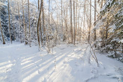 Sun shine in snowy forest. Sun shine in natural snowy winter forest Stock Images