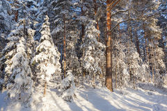 Sun shine in snowy forest Royalty Free Stock Image