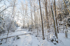 Sun shine in snowy forest Royalty Free Stock Photos