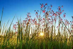 Sun shine sunbeams on a meadow. Summer rural landscape with a meadow and blossoming flowers. scenery with sunrise, morning of new day. sun shine sunbeams on a Stock Image