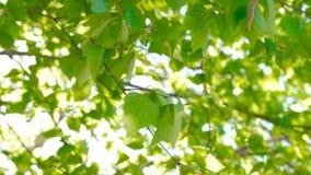 Sun shine thorugh the blowing on wind birch tree leaves, sunflares. Sun shine thorugh the blowing on wind birch tree leaves, bright sunflares stock video footage