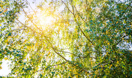 Sun shine through tree. Sun shine through birch trees Royalty Free Stock Photo