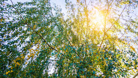 Sun shine through tree. Sun shine through birch trees Stock Image