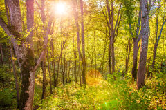 Sun shine through tree leaves Royalty Free Stock Images