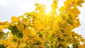 Sun shine through tree. Sun shine through maple trees Stock Images