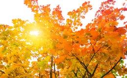 Sun shine through tree. Sun shine through maple trees Stock Photo