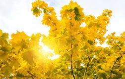 Sun shine through tree. Sun shine through maple trees Stock Image