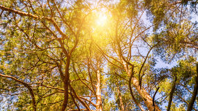 Sun shine through tree. Sun shine through pine trees Royalty Free Stock Photography