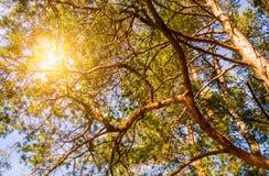 Sun shine through tree. Sun shine through pine trees Stock Photography