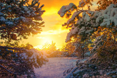 Sun shine in winter forest Royalty Free Stock Photography
