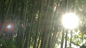 Sun shines through bamboo trees stock video footage