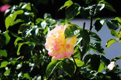 When the sun shines, beautiful things fold out. A light rose in the sun Royalty Free Stock Photography