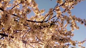 The sun shines through a blooming cherry tree stock video