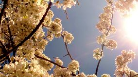 The sun shines through a blooming cherry tree. On the background of blue sky, white, or varying shades of the rainbow, in white, yellow, lilac, violet, red stock video