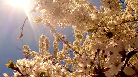 The sun shines through a blooming cherry tree stock video footage