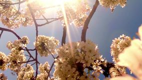 The sun shines through a blooming cherry tree stock footage