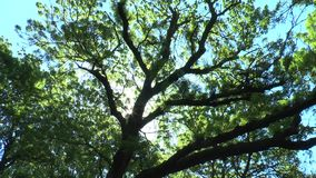 The sun shines through the branches of an old tree. The sun shines through the branches of an old and large tree stock footage