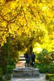 Sun shines bright, golden light on yellow thornbush leaves.  Gardens in Retiro park in Madrid, Spain. Stock Images