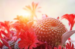 The sun shines brightly through the red cactus flowers Stock Image