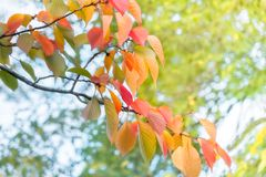 Sun shines through colorful autumn leaves at Maruyama Park in Kyoto. Sun shines through the canopy lighting up colorful autumn leaves at Maruyama Park in Kyoto royalty free stock image