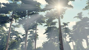 Sun shines through crowns of trees. Sunbeams shine through the pines in the pine wood. Time lapse. Realistic three dimensional animation stock video footage