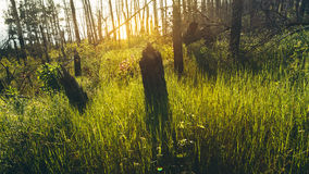 Sun shines through the dead burned trees concept consequences of forest fires. Environment protection Stock Photo