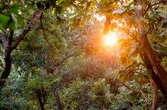 Sun shines through dense forest with golden light Royalty Free Stock Photos