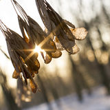 The sun shines through the dry leaves on the tree. Royalty Free Stock Photography