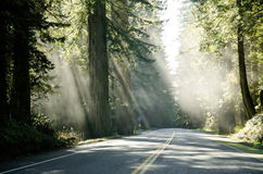 Sun shines through the forest. Famous Redwood trees on the Pacific Coast lit by the sun Royalty Free Stock Image