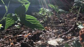 Sun shines on forest strawberries and other plants in closeup, ground detail. Low angle stock video footage