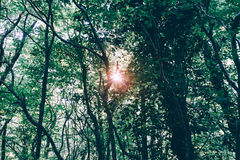 Sun shines through forest thicket. The sun shines through the forest thicket Royalty Free Stock Photo