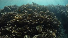 Fragile Corals and Sunshine in Raja Ampat. Sun shines on fragile corals in Raja Ampat, Indonesia. This beautiful and remote region is known for its astounding stock footage