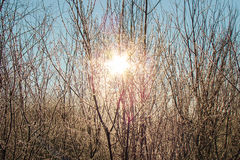 The sun shines. Through the frosted bushes Royalty Free Stock Image