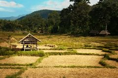 Sun shines golden rice hut royalty free stock images