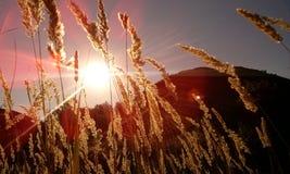 Sun. The sun shines through the grass Stock Photo