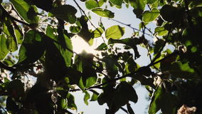 Sun shines through green leaves. Slow Motion: Sun shines through green leaves. The bright rays of the sun shine through the green leaves of the apple tree stock video
