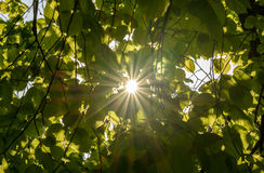 Sun shines through the leaves. Shallow Depth of Field, Background Nature photography Royalty Free Stock Image